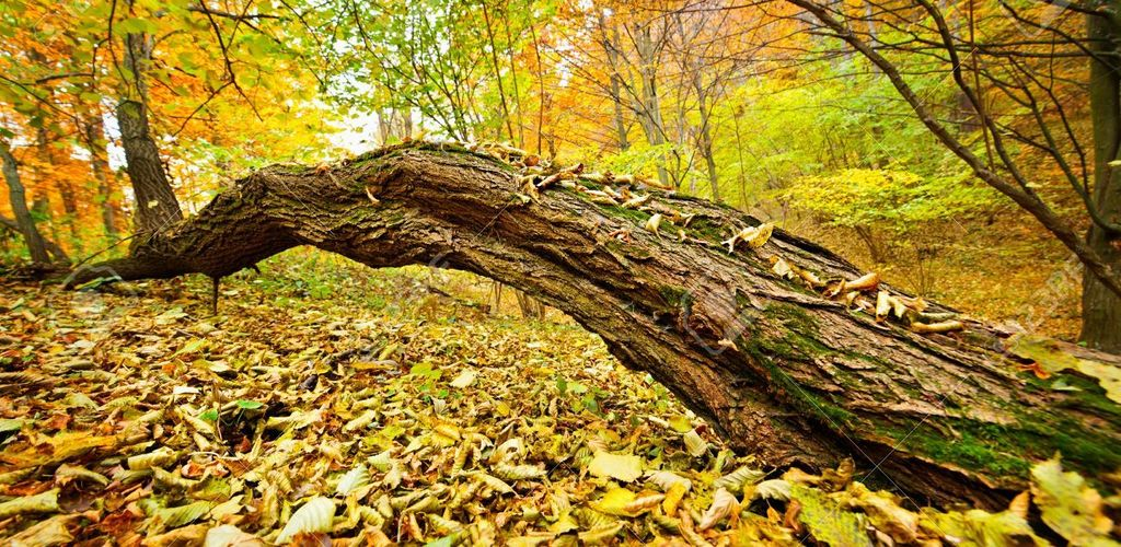 Fallen Tree In The Forest With Yellow Leaves